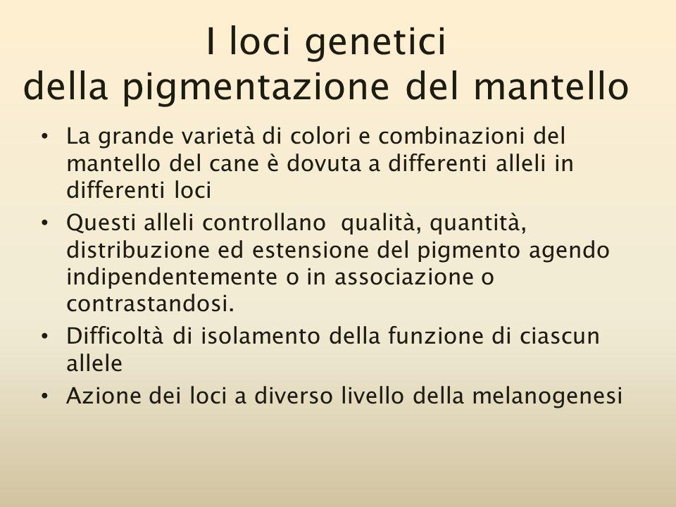 I loci genetici della pigmentazione del mantello La grande varietà di colori e combinazioni del mantello del cane è dovuta a differenti alleli in diff