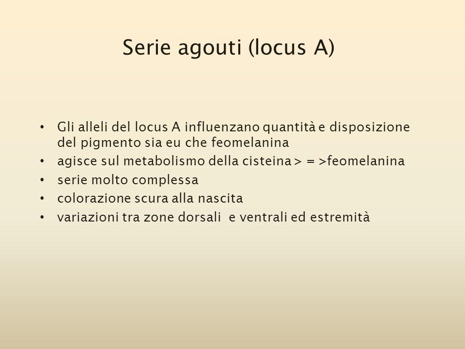 Serie agouti (locus A) Gli alleli del locus A influenzano quantità e disposizione del pigmento sia eu che feomelanina agisce sul metabolismo della cis