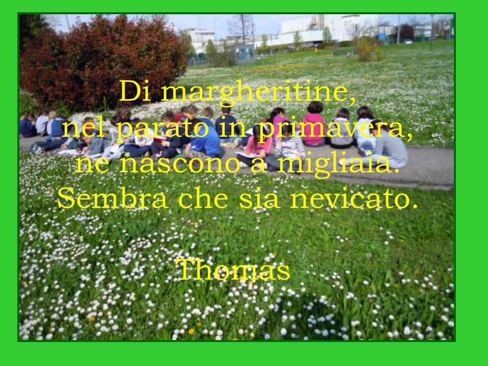 Di margheritine, nel parato in primavera, ne nascono a migliaia. Sembra che sia nevicato. Thomas