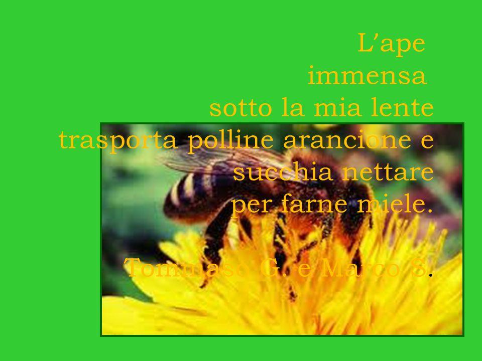 L ' ape immensa sotto la mia lente trasporta polline arancione e succhia nettare per farne miele.