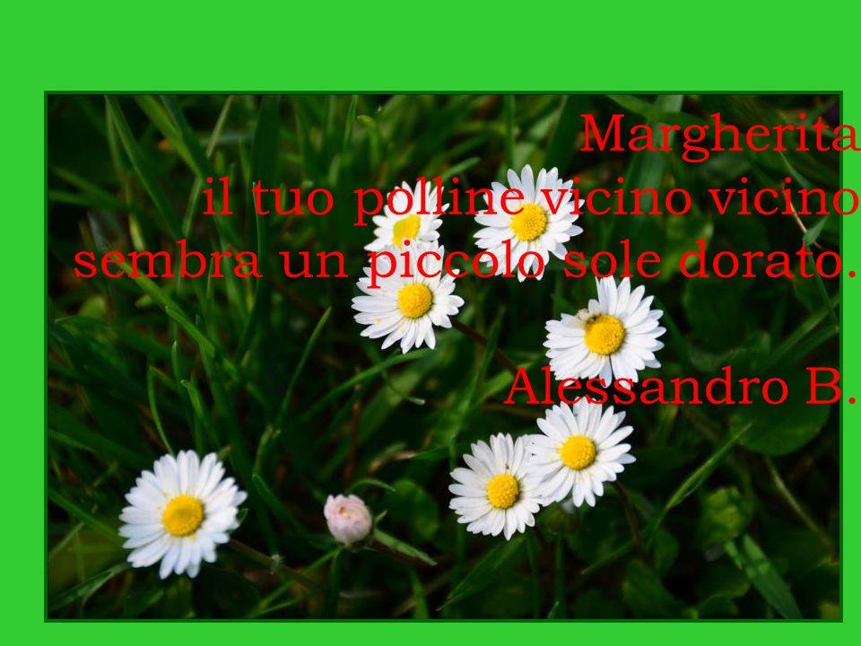Margherita il tuo polline vicino vicino sembra un piccolo sole dorato. Alessandro B.