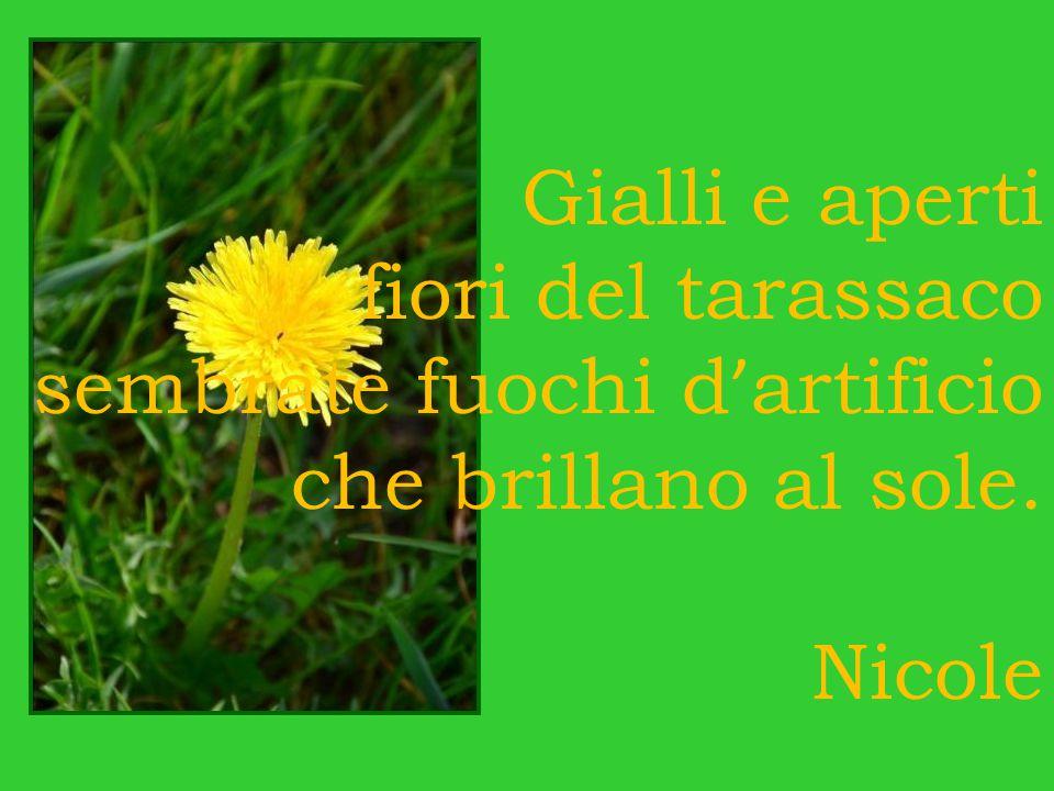 Gialli e aperti fiori del tarassaco sembrate fuochi d ' artificio che brillano al sole. Nicole