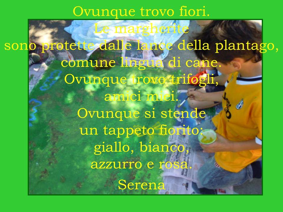 Ovunque trovo fiori. Le margherite sono protette dalle lance della plantago, comune lingua di cane. Ovunque trovo trifogli, amici miei. Ovunque si ste