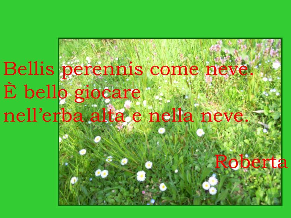 Bellis perennis come neve. È bello giocare nell'erba alta e nella neve. Roberta