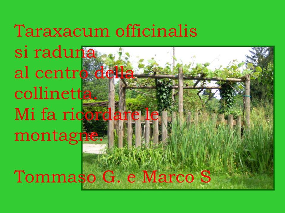 Taraxacum officinalis si raduna al centro della collinetta. Mi fa ricordare le montagne. Tommaso G. e Marco S