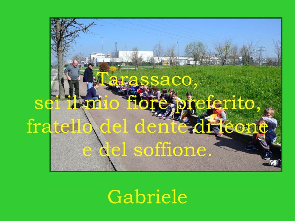 Tarassaco, sei il mio fiore preferito, fratello del dente di leone e del soffione. Gabriele