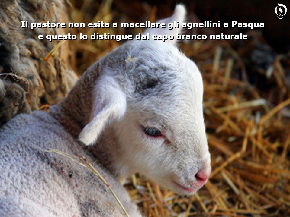 Il pastore non esita a macellare gli agnellini a Pasqua e questo lo distingue dal capo branco naturale Il pastore non esita a macellare gli agnellini a Pasqua e questo lo distingue dal capo branco naturale O