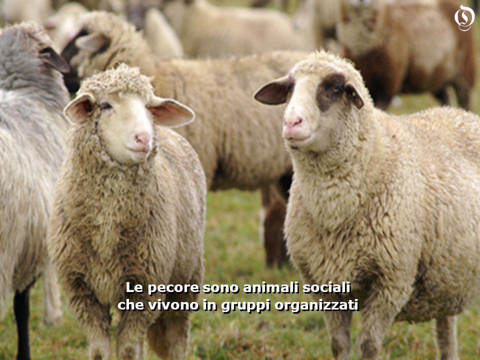 Le pecore sono animali sociali che vivono in gruppi organizzati Le pecore sono animali sociali che vivono in gruppi organizzati O