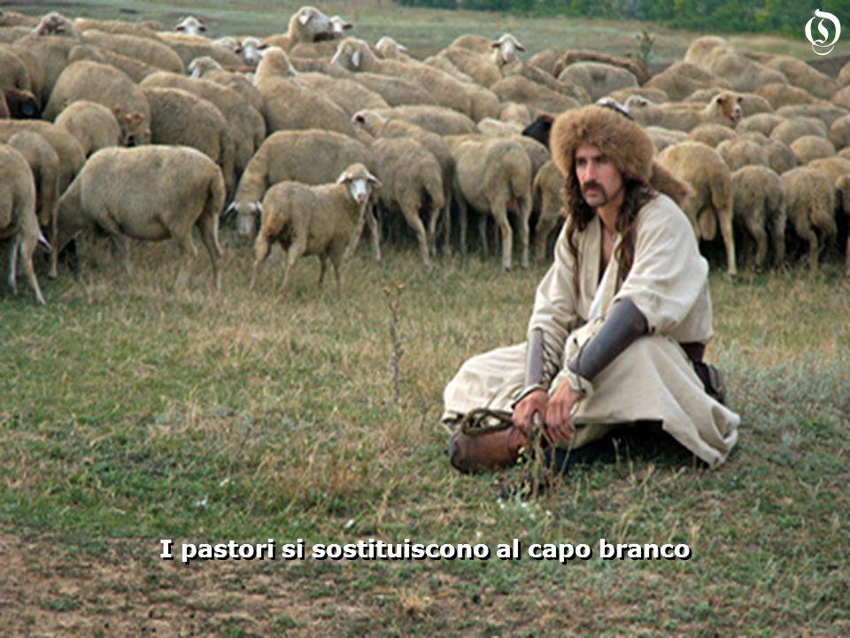 I pastori si sostituiscono al capo branco O