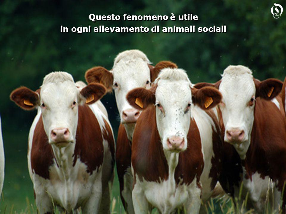 Questo fenomeno è utile in ogni allevamento di animali sociali Questo fenomeno è utile in ogni allevamento di animali sociali O