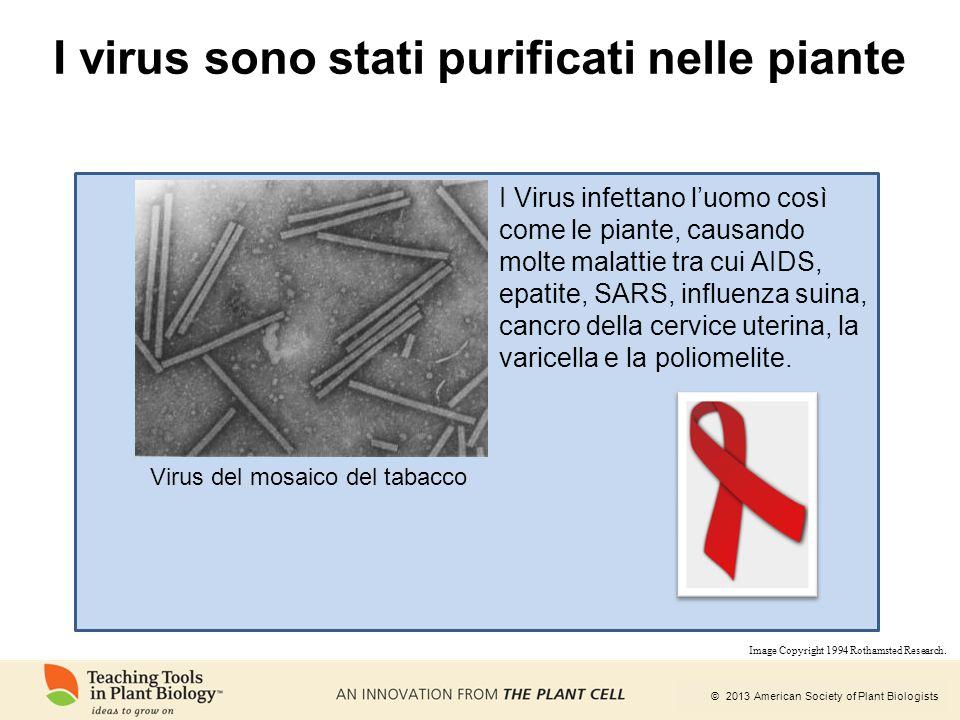 © 2013 American Society of Plant Biologists I virus sono stati purificati nelle piante Virus del mosaico del tabacco I Virus infettano l'uomo così com