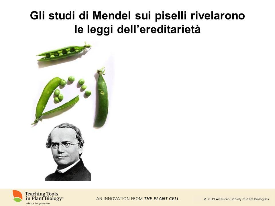 © 2013 American Society of Plant Biologists Gli studi di Mendel sui piselli rivelarono le leggi dell'ereditarietà