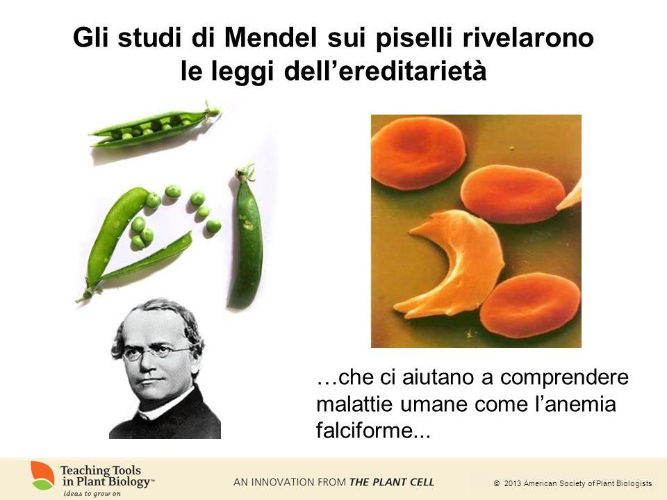 © 2013 American Society of Plant Biologists Gli studi di Mendel sui piselli rivelarono le leggi dell'ereditarietà …che ci aiutano a comprendere malatt