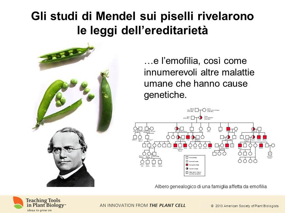 © 2013 American Society of Plant Biologists Gli studi di Mendel sui piselli rivelarono le leggi dell'ereditarietà …e l'emofilia, così come innumerevol