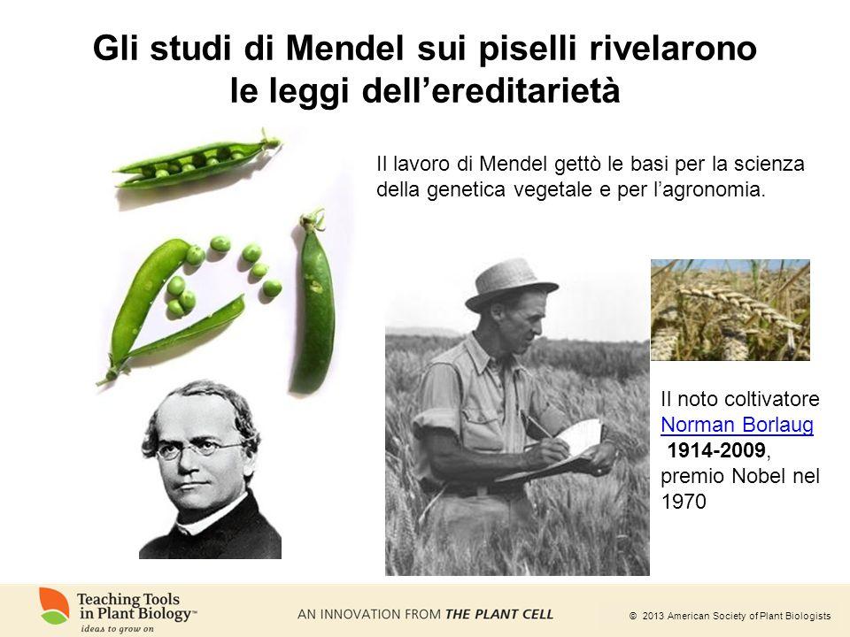 © 2013 American Society of Plant Biologists Gli studi di Mendel sui piselli rivelarono le leggi dell'ereditarietà Il lavoro di Mendel gettò le basi pe