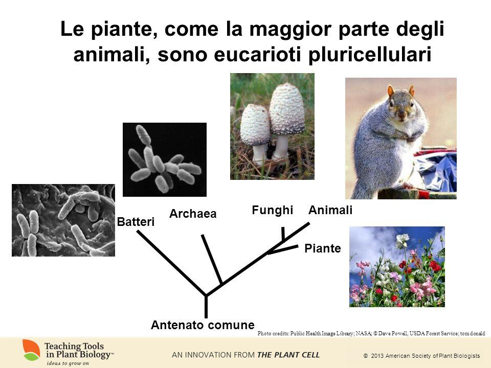 © 2013 American Society of Plant Biologists Le piante, come la maggior parte degli animali, sono eucarioti pluricellulari Batteri Archaea Animali Pian