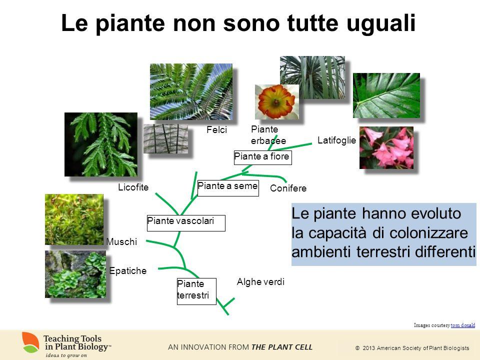 © 2013 American Society of Plant Biologists Le piante non sono tutte uguali Alghe verdi Epatiche Muschi Piante vascolari Licofite Felci Piante a seme