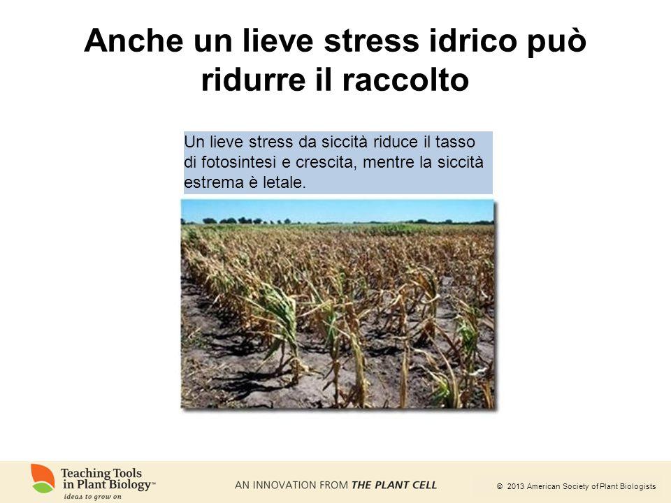 © 2013 American Society of Plant Biologists Anche un lieve stress idrico può ridurre il raccolto Un lieve stress da siccità riduce il tasso di fotosin