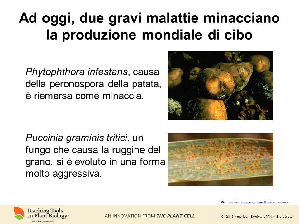 © 2013 American Society of Plant Biologists Ad oggi, due gravi malattie minacciano la produzione mondiale di cibo Phytophthora infestans, causa della