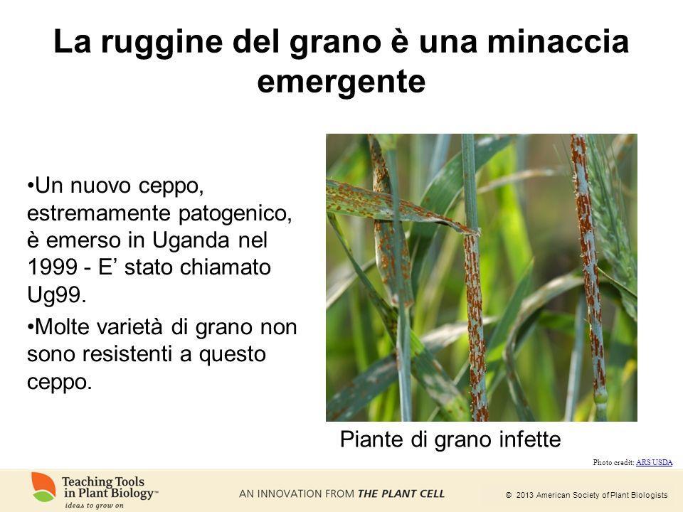 © 2013 American Society of Plant Biologists La ruggine del grano è una minaccia emergente Un nuovo ceppo, estremamente patogenico, è emerso in Uganda