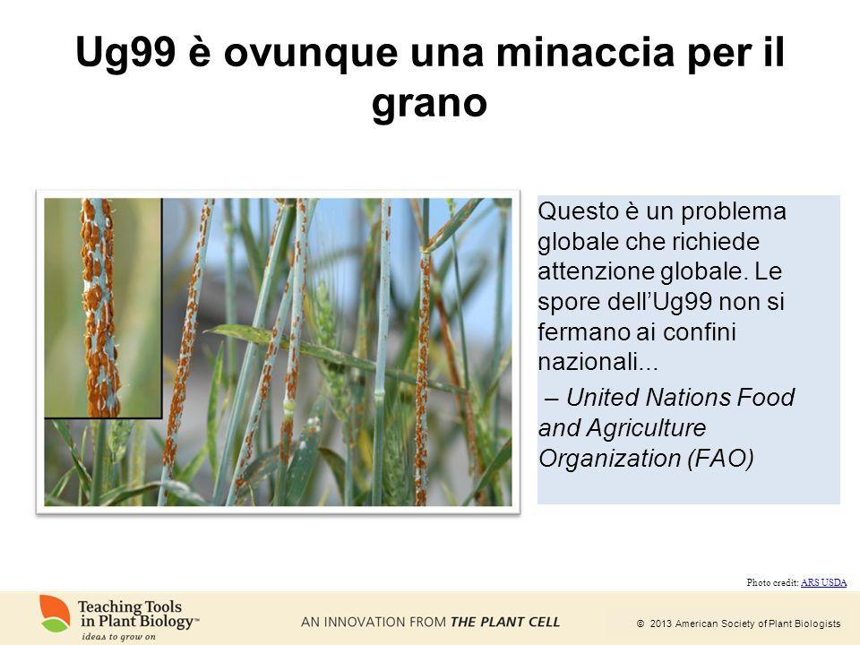 © 2013 American Society of Plant Biologists Ug99 è ovunque una minaccia per il grano Questo è un problema globale che richiede attenzione globale. Le