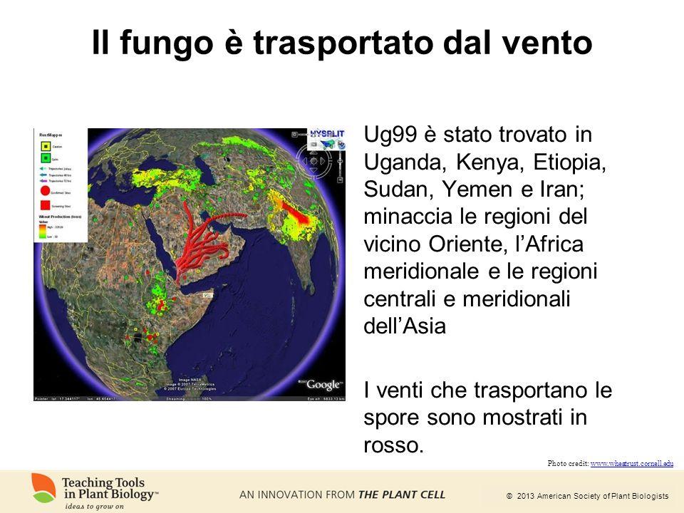 © 2013 American Society of Plant Biologists Il fungo è trasportato dal vento Ug99 è stato trovato in Uganda, Kenya, Etiopia, Sudan, Yemen e Iran; mina