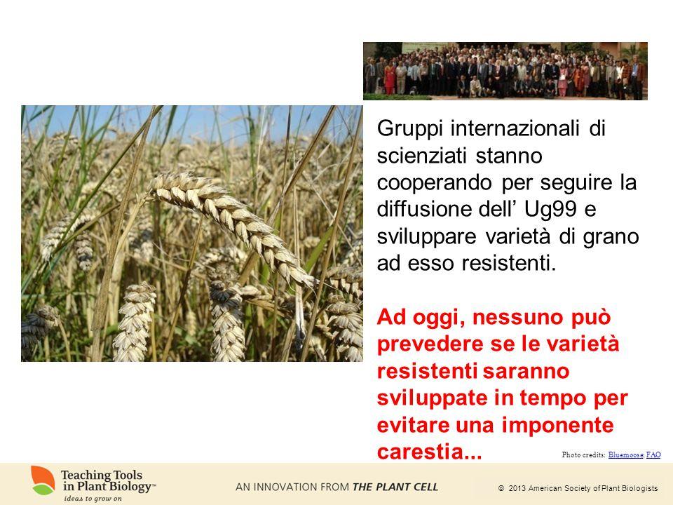 © 2013 American Society of Plant Biologists Gruppi internazionali di scienziati stanno cooperando per seguire la diffusione dell' Ug99 e sviluppare va