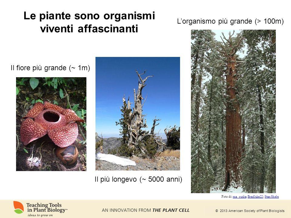 © 2013 American Society of Plant Biologists Le piante sono organismi viventi affascinanti Il fiore più grande (~ 1m) Il più longevo (~ 5000 anni) L'or