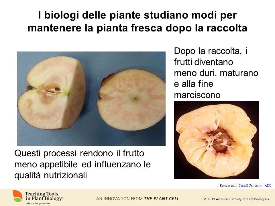 © 2013 American Society of Plant Biologists I biologi delle piante studiano modi per mantenere la pianta fresca dopo la raccolta Dopo la raccolta, i f