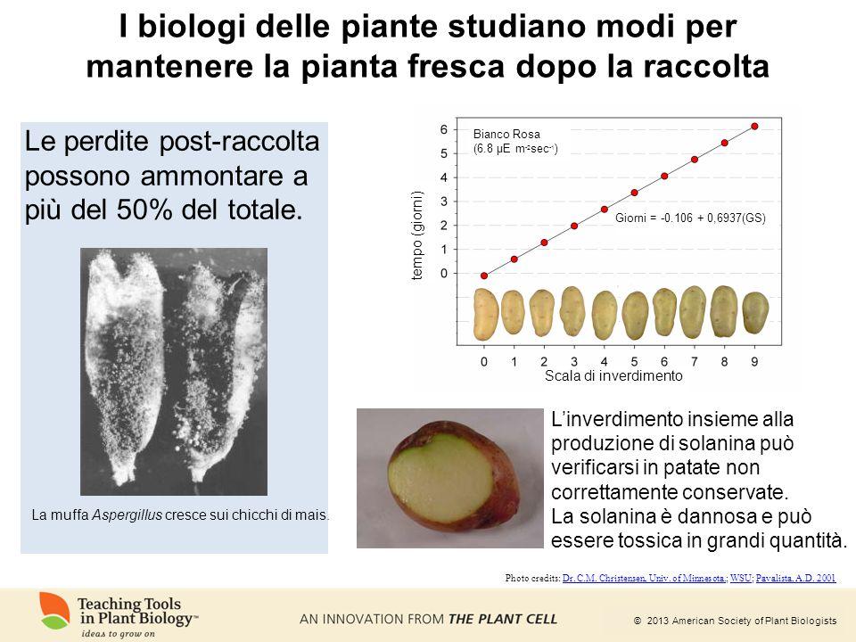 © 2013 American Society of Plant Biologists L'inverdimento insieme alla produzione di solanina può verificarsi in patate non correttamente conservate.