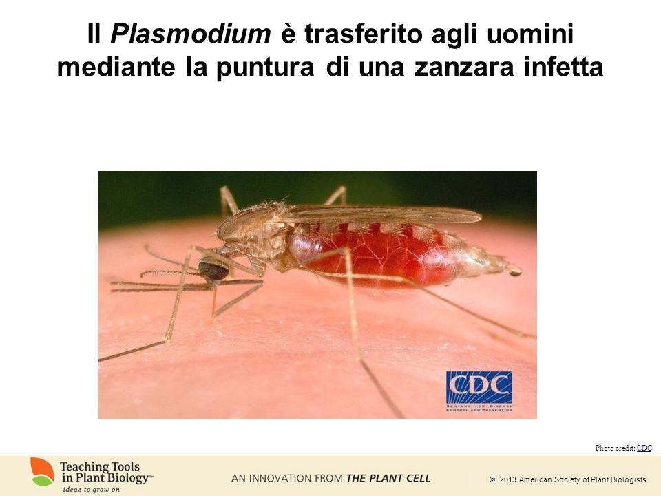 © 2013 American Society of Plant Biologists Il Plasmodium è trasferito agli uomini mediante la puntura di una zanzara infetta Photo credit: CDCCDC