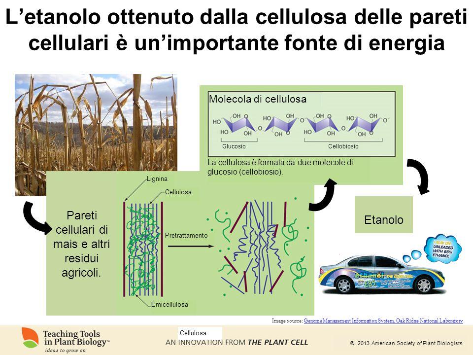 © 2013 American Society of Plant Biologists L'etanolo ottenuto dalla cellulosa delle pareti cellulari è un'importante fonte di energia Pareti cellular