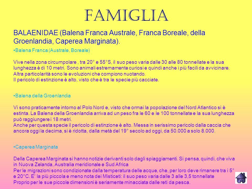 FAMIGLIA BALAENIDAE (Balena Franca Australe, Franca Boreale, della Groenlandia, Caperea Marginata). Balena Franca (Australe, Boreale) Vive nella zona