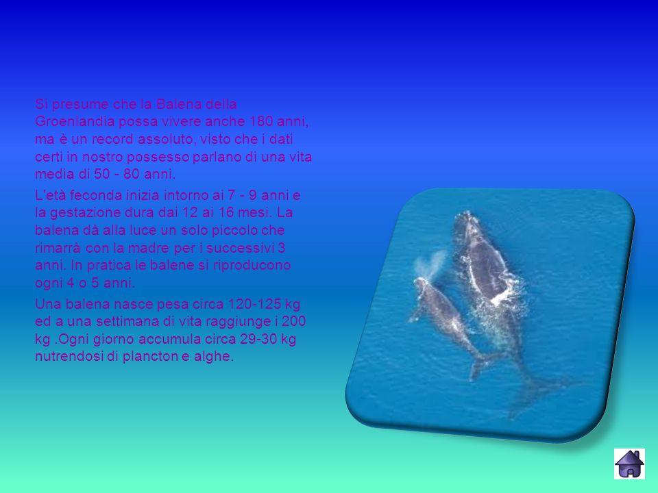 Si presume che la Balena della Groenlandia possa vivere anche 180 anni, ma è un record assoluto, visto che i dati certi in nostro possesso parlano di