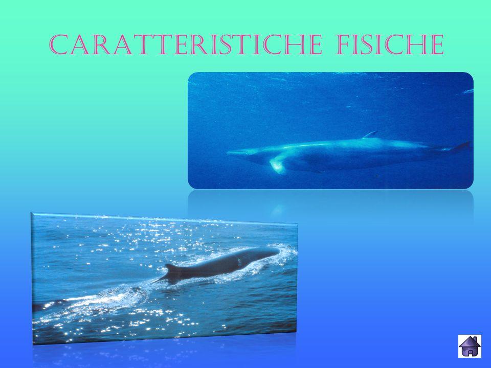 HABITAT I loro habitat preferiti sono i grandi oceani freddi (Mare Artico, oceano Atlantico, Pacifico settentrionale e meridionale).