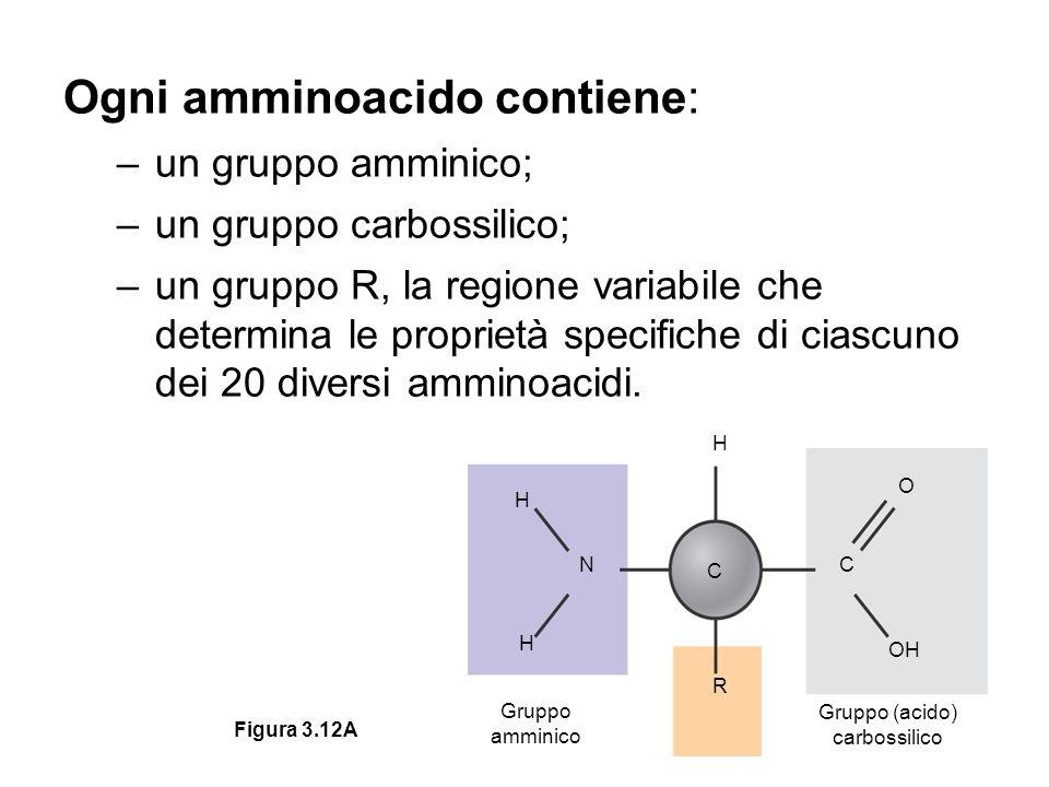 Ogni amminoacido contiene: –un gruppo amminico; –un gruppo carbossilico; –un gruppo R, la regione variabile che determina le proprietà specifiche di ciascuno dei 20 diversi amminoacidi.