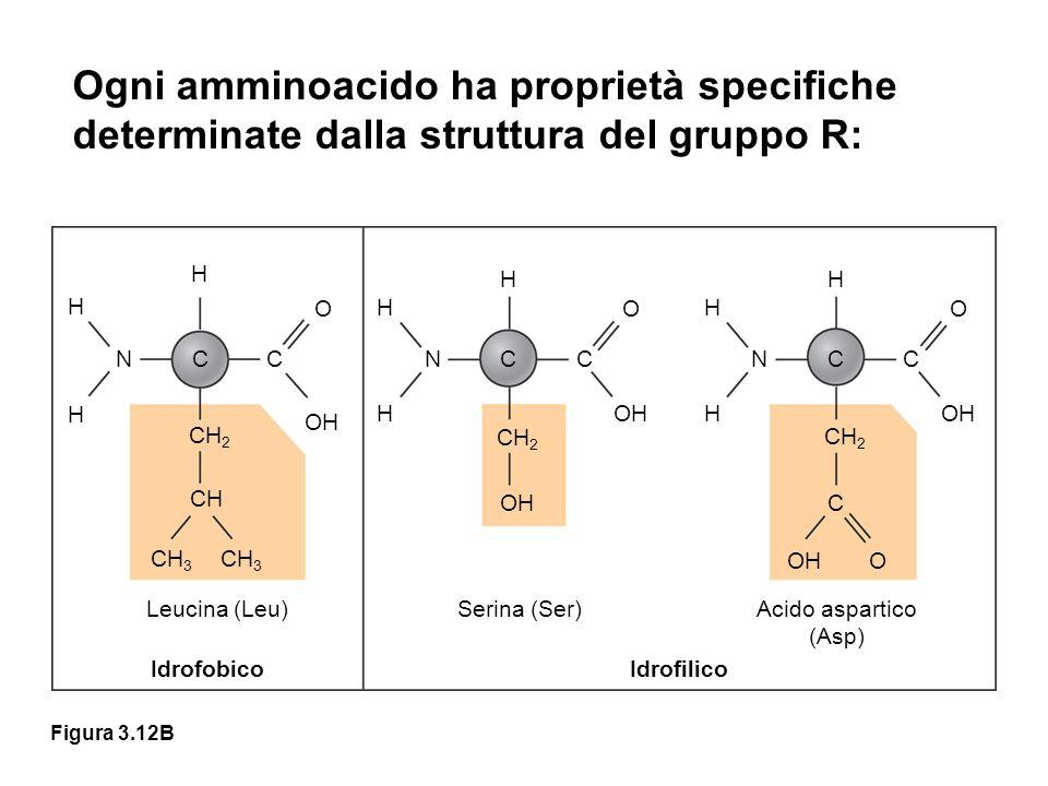 Ogni amminoacido ha proprietà specifiche determinate dalla struttura del gruppo R: H H N H C CH 2 CH CH 3 C O OH H H NC H CH 2 OH C O H H NC H C O CH 2 C OHO Leucina (Leu)Serina (Ser)Acido aspartico (Asp) IdrofobicoIdrofilico Figura 3.12B