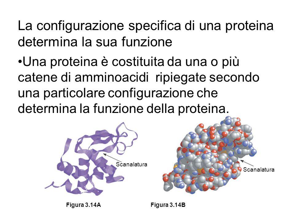 Scanalatura Figura 3.14BFigura 3.14A La configurazione specifica di una proteina determina la sua funzione Una proteina è costituita da una o più cate