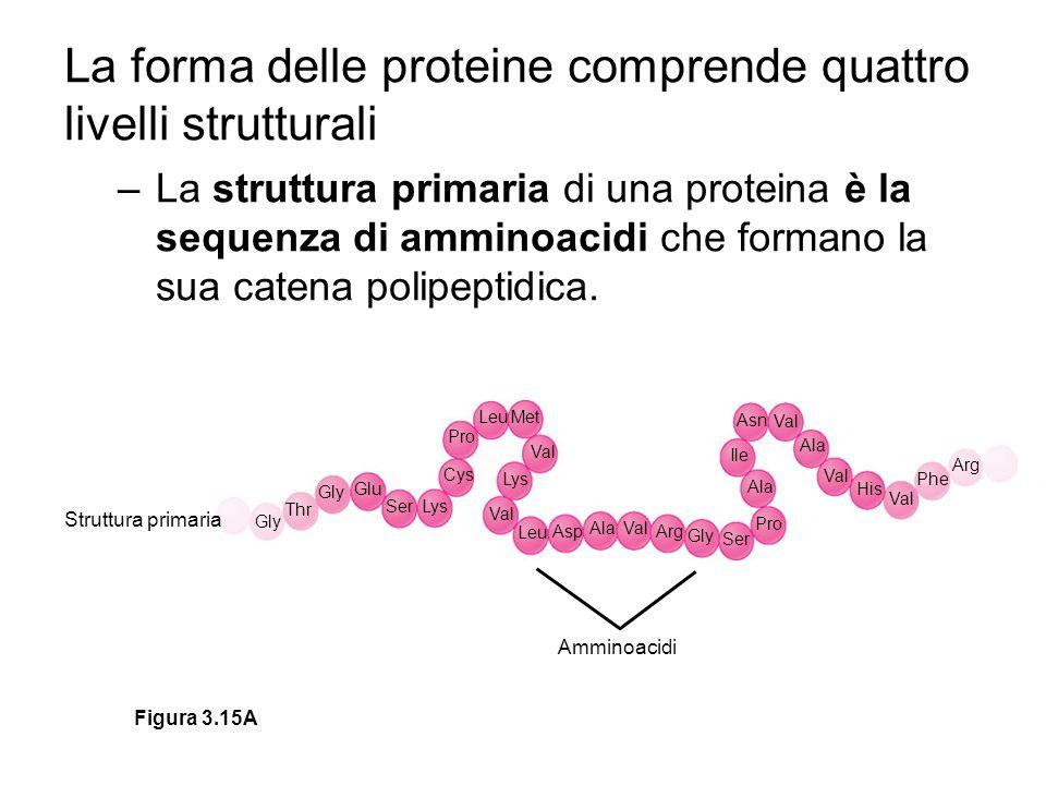 La forma delle proteine comprende quattro livelli strutturali –La struttura primaria di una proteina è la sequenza di amminoacidi che formano la sua catena polipeptidica.
