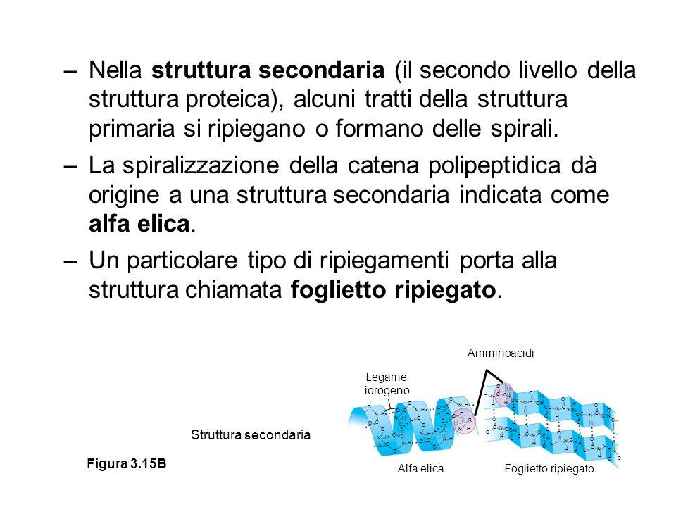 –Nella struttura secondaria (il secondo livello della struttura proteica), alcuni tratti della struttura primaria si ripiegano o formano delle spirali