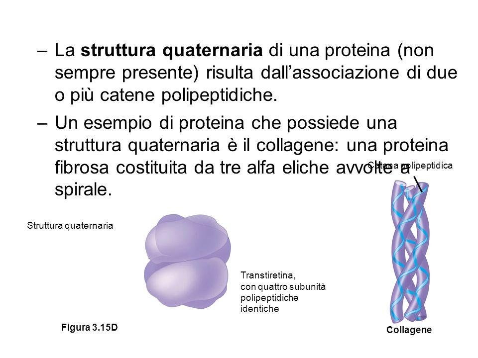 –La struttura quaternaria di una proteina (non sempre presente) risulta dall'associazione di due o più catene polipeptidiche. –Un esempio di proteina
