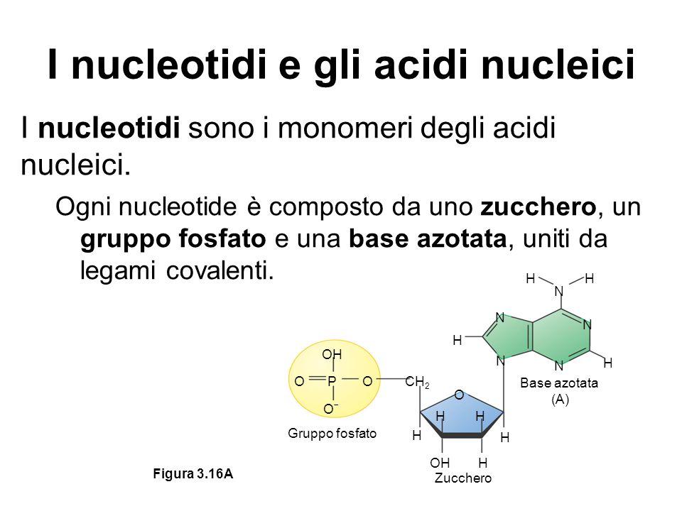 I nucleotidi e gli acidi nucleici I nucleotidi sono i monomeri degli acidi nucleici. Ogni nucleotide è composto da uno zucchero, un gruppo fosfato e u