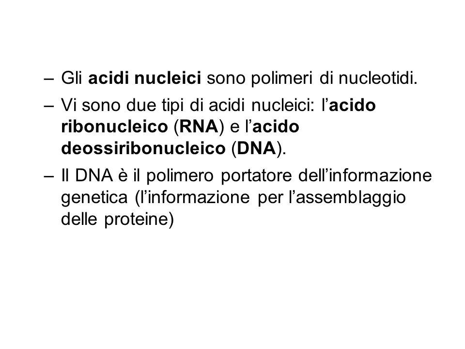 –Gli acidi nucleici sono polimeri di nucleotidi. –Vi sono due tipi di acidi nucleici: l'acido ribonucleico (RNA) e l'acido deossiribonucleico (DNA). –