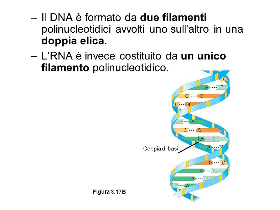 –Il DNA è formato da due filamenti polinucleotidici avvolti uno sull'altro in una doppia elica. –L'RNA è invece costituito da un unico filamento polin
