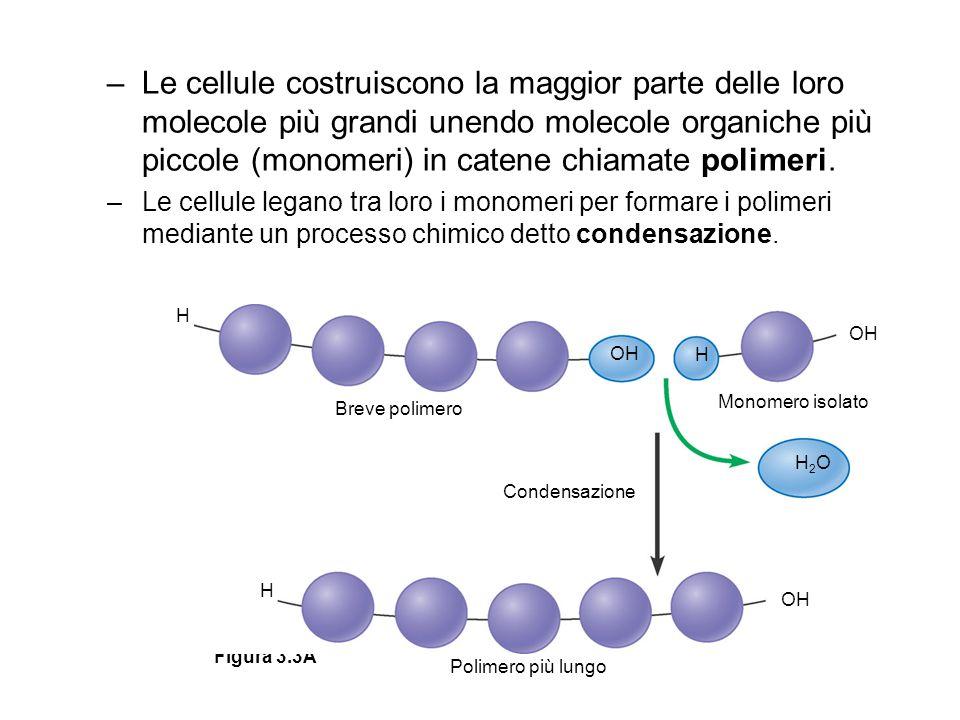 –Le cellule costruiscono la maggior parte delle loro molecole più grandi unendo molecole organiche più piccole (monomeri) in catene chiamate polimeri.