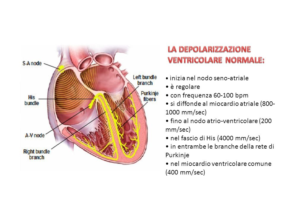 inizia nel nodo seno-atriale è regolare con frequenza 60-100 bpm si diffonde al miocardio atriale (800- 1000 mm/sec) fino al nodo atrio-ventricolare (200 mm/sec) nel fascio di His (4000 mm/sec) in entrambe le branche della rete di Purkinje nel miocardio ventricolare comune (400 mm/sec)