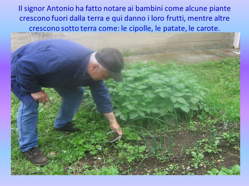 Il signor Antonio ha fatto notare ai bambini come alcune piante crescono fuori dalla terra e qui danno i loro frutti, mentre altre crescono sotto terr