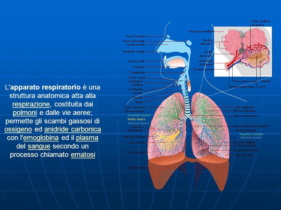 L apparato respiratorio è una struttura anatomica atta alla respirazione, costituita dai polmoni e dalle vie aeree; permette gli scambi gassosi di ossigeno ed anidride carbonica con l emoglobina ed il plasma del sangue secondo un processo chiamato ematosi respirazione polmoni ossigenoanidride carbonicaemoglobinaplasmasangueematosi