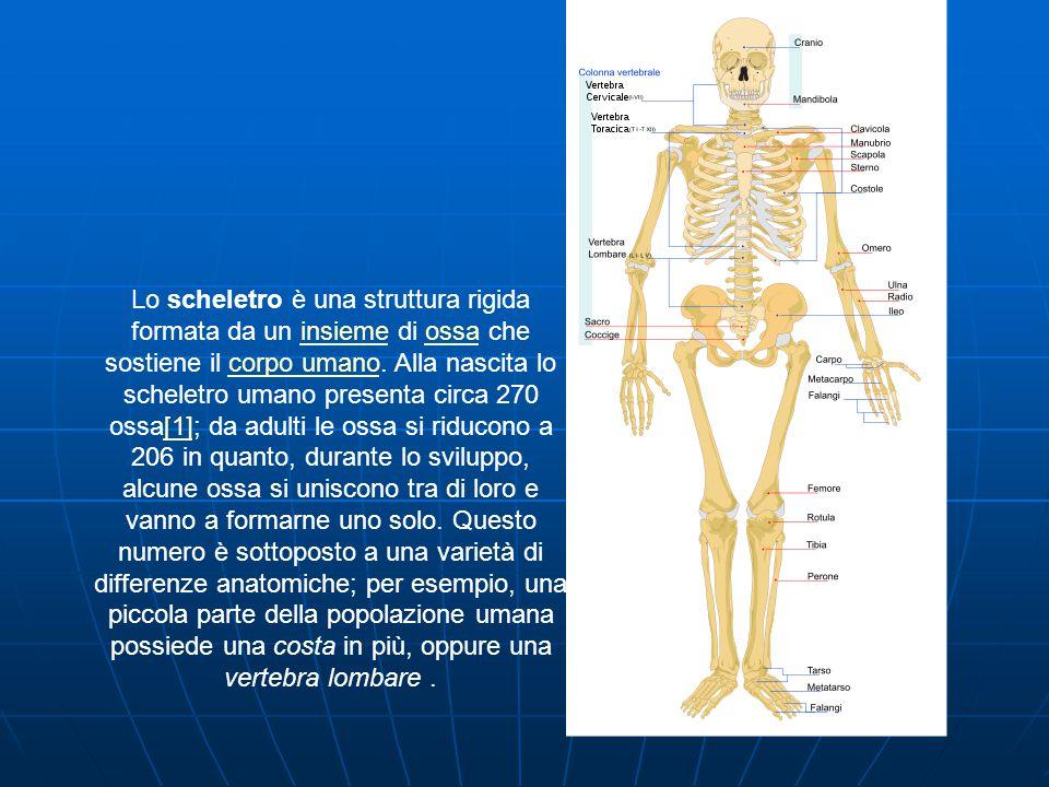Lo scheletro è una struttura rigida formata da un insieme di ossa che sostiene il corpo umano.