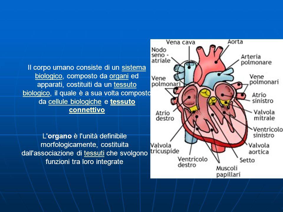 L organo è l unità definibile morfologicamente, costituita dall associazione di tessuti che svolgono funzioni tra loro integratetessuti Il corpo umano consiste di un sistema biologico, composto da organi ed apparati, costituiti da un tessuto biologico, il quale è a sua volta composto da cellule biologiche e tessuto connettivosistema biologicoorganitessuto biologicocellule biologichetessuto connettivo